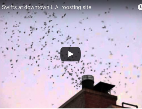 Check out the Vaux's Swifts in downtown LA tonight!