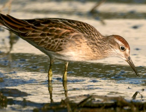Sharp-tailed Sandpiper in Long Beach