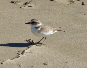Discover the Birds of Surfrider Beach @ Malibu Lagoon State Beach